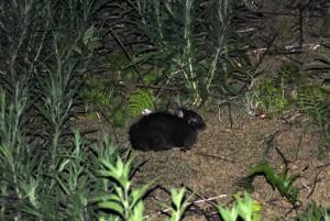 Conejo de Amami