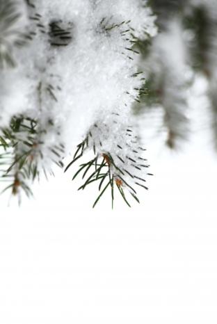 Pino en la nieve. © Elena Elisseeva. (www. photaki. com)