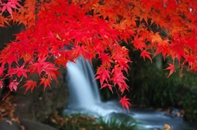 Arce rojo en la cascada de Awamata. (Foto: Rokuhara R.)