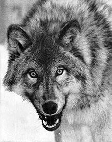 Lobo. Tradicionalmente asociado con la diosa Amaterasu. (Foto: Wikimedia Commons)