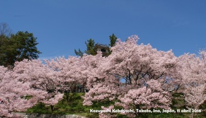 Sakura Kazuyoshi Kobayashi_5