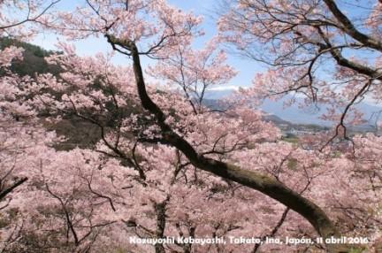 Sakura Kazuyoshi Kobayashi_7_1