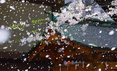 """Sakurabufuki (""""lluvia de pétalos de cerezo"""") expresa como pocas palabras el sentimiento melancólico mono no aware. (Fuente: Wikimedia Commons)"""